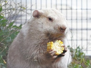 The Story of Wiarton Willie