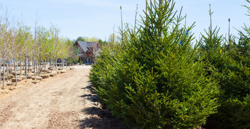 We have lots of large evergreen and spruce to choose from